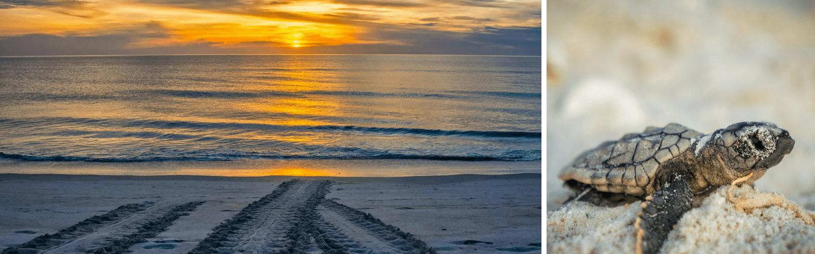 Sarasota Sea turtle hatchling and tracks in sand