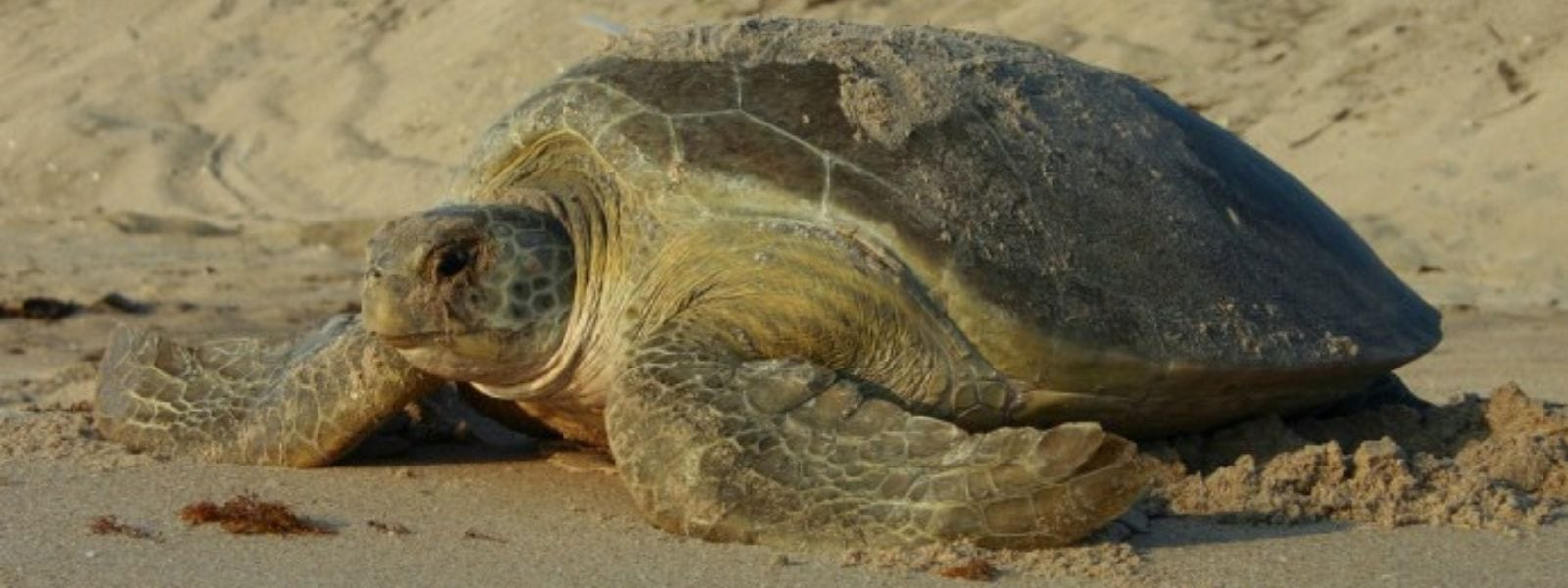 sea turtle nesting her eggs in the sand on the beach