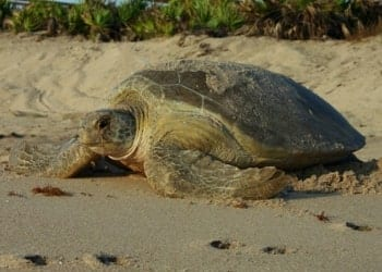 It is Turtle Nesting Season in Florida! Here is Everything you Need to Know. BLVD SArasota